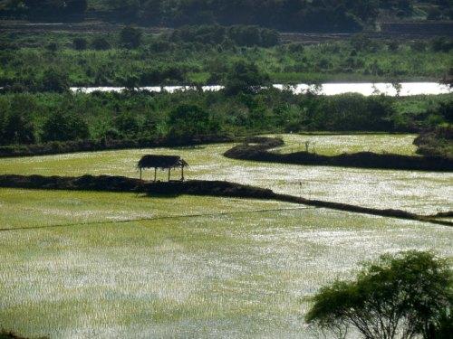 Utcubamba River rice fields 5