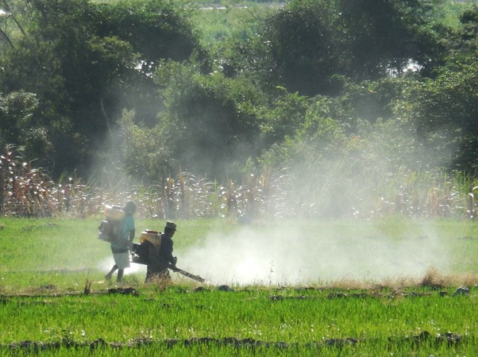 Utcubamba River rice spray