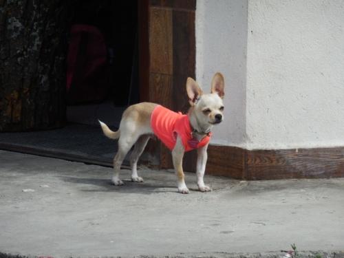 Vilcabamba dog