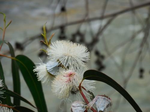 Gun tree blossom 2