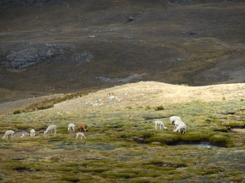 Llama in the Andes 3