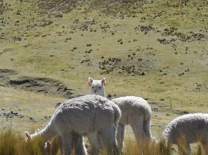 Llama or alpaca 1