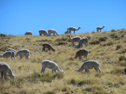 Llama or alpaca 10