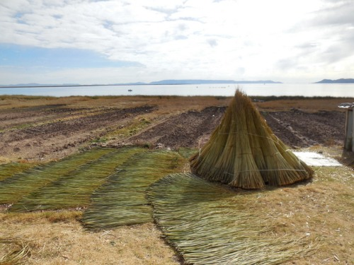 Cut reeds on the shore of Lake Titicaca 1