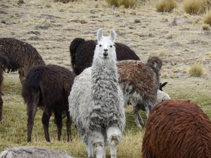 Llamas 3
