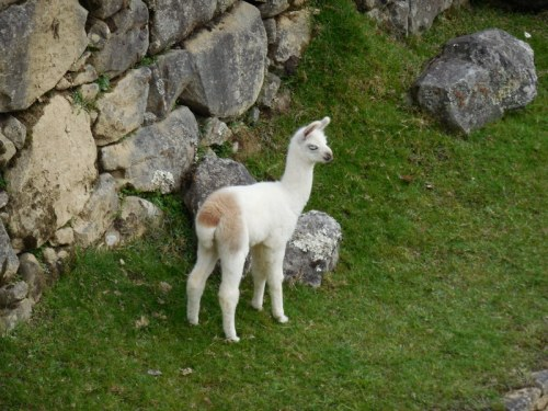 Machu Picchu llama 3