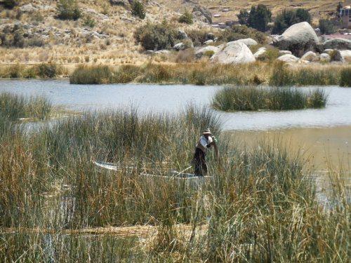 Reeds - gathering