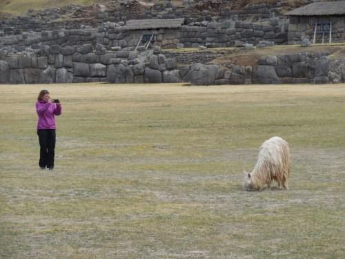 Sacsayhuamán llama stalker