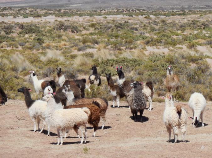 Alpaca herd 1