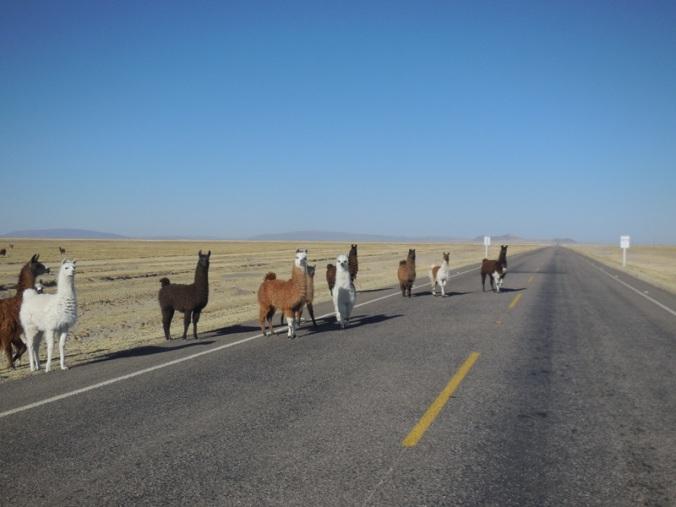 Alpacas traffic jam 4
