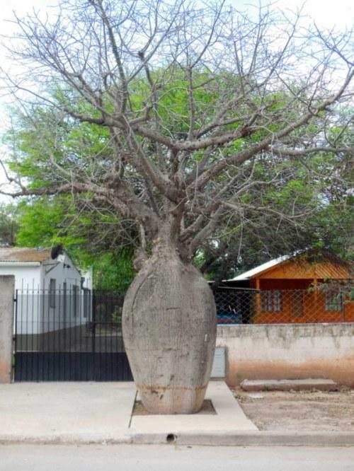 Boab tree perhaps