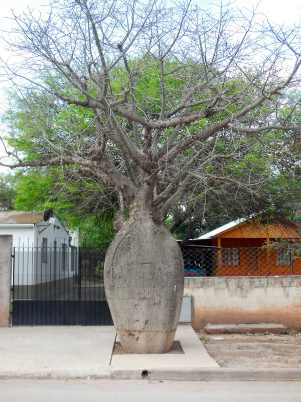 Boab tree perhaps