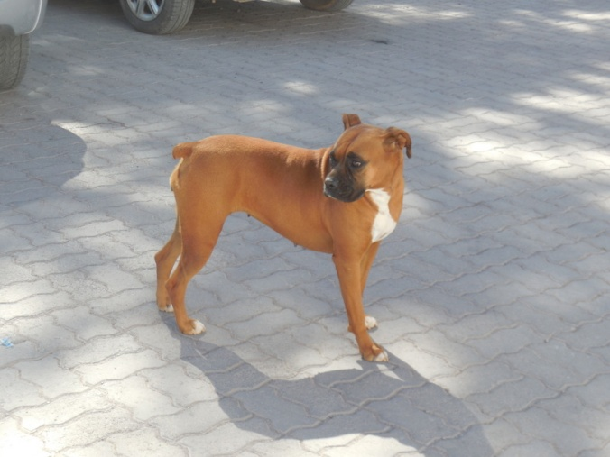 Boxer for Dale and Mary Jo