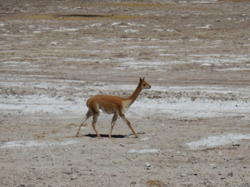 Guanaco or vicuna 1