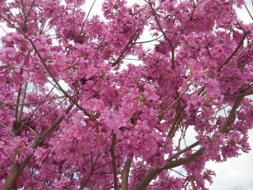 Jacaranda tree 1