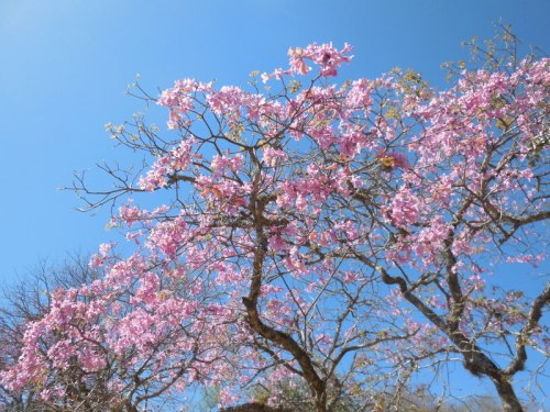 Jacaranda tree 3