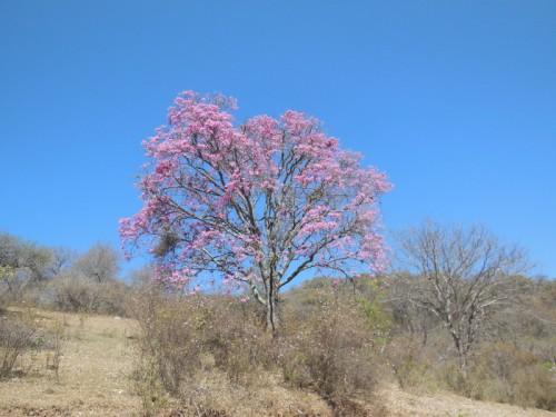 Jacaranda tree 5