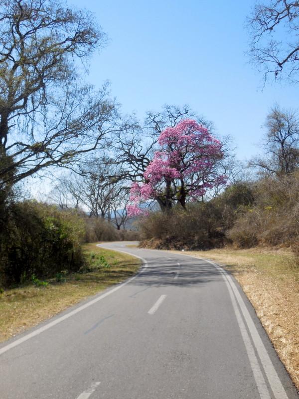 Our road and jacaranda tree 2