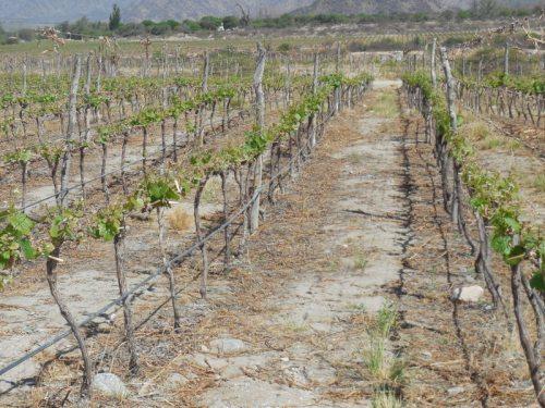 Piattelli vinyards scene 2