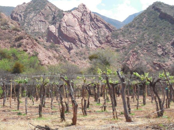 Vines on arbors