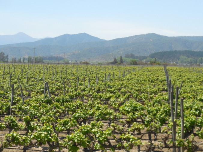 Chilean vines