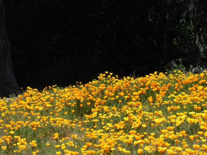 Field of poppies 7