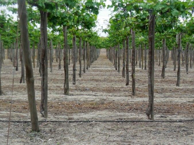 Grapes on a trelles