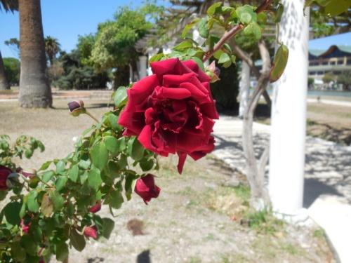 Rose garden 12