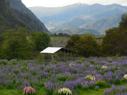 Lupine meadow 1