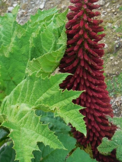 Nalca, wild rhubarb 3