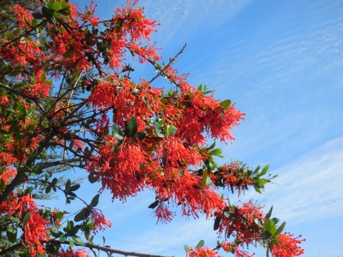 Red flower tree 1