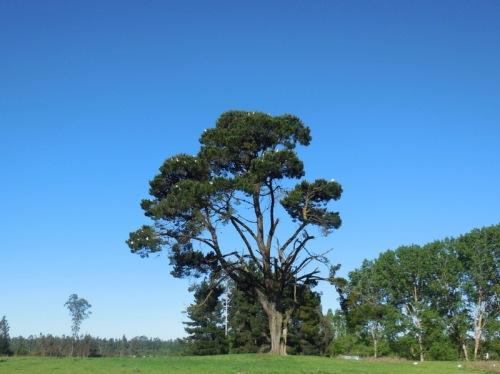 Temuco tree 1