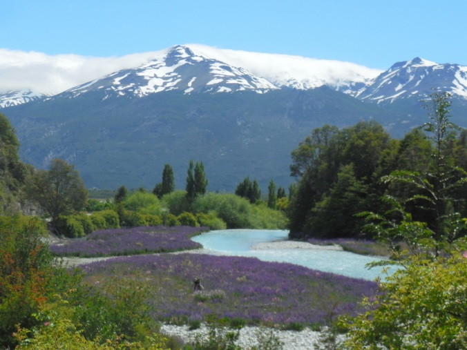 Lupine and mountains 2