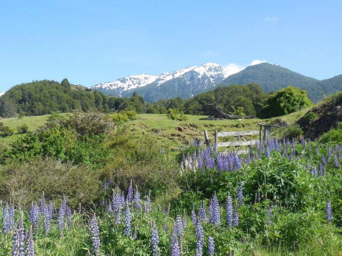 Lupine and mountains 3