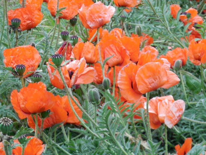 poppies for pete