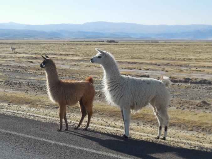 Alpacas traffic jam 5