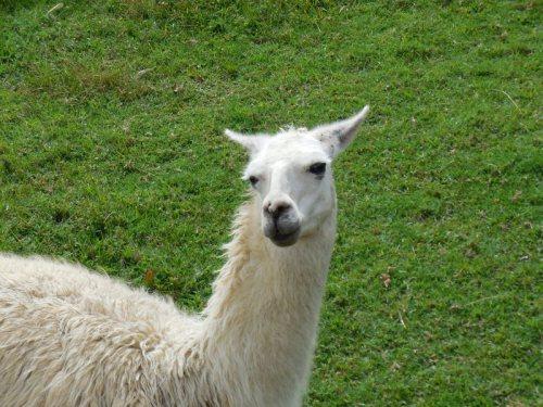 Machu Picchu llama 2