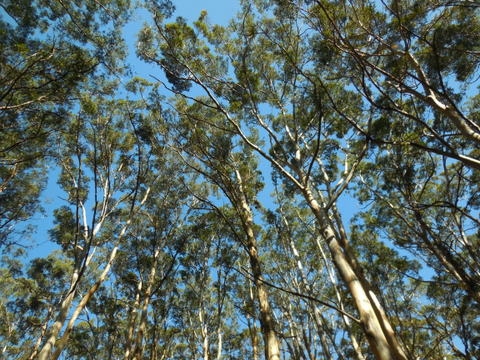 Big trees 2