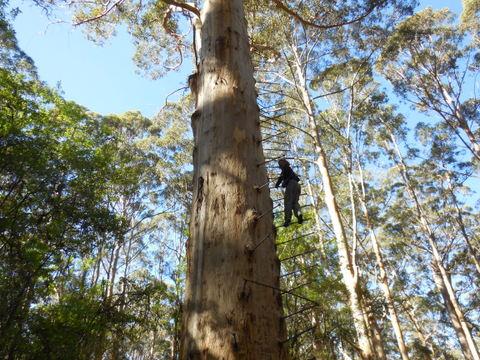 Walpole climbing tree Nsncy 1