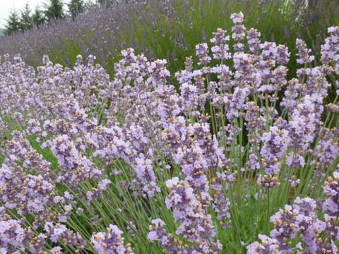 Lavender farm4