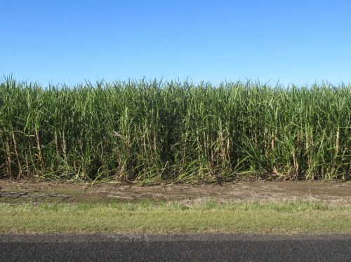 Cane field 1