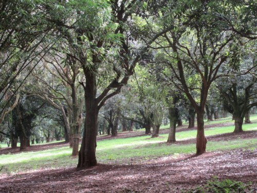 Macadamia orchard
