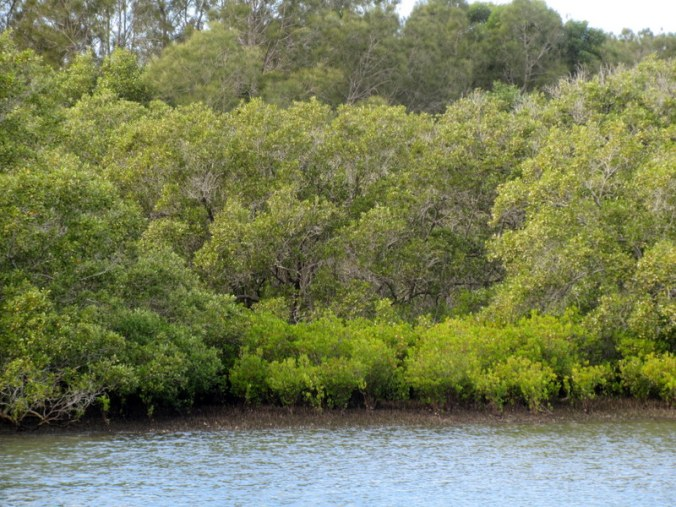 Mangrove from ferry 2