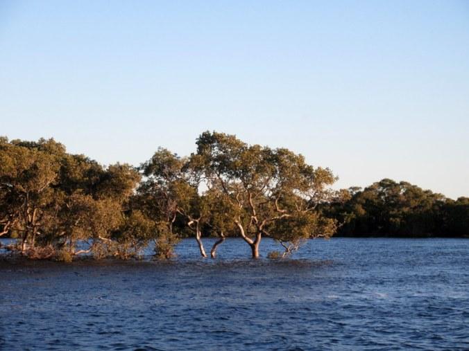 Mangrove Trees 1