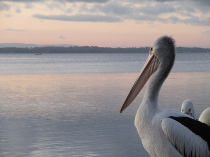 Sunsetting Pelicans 2