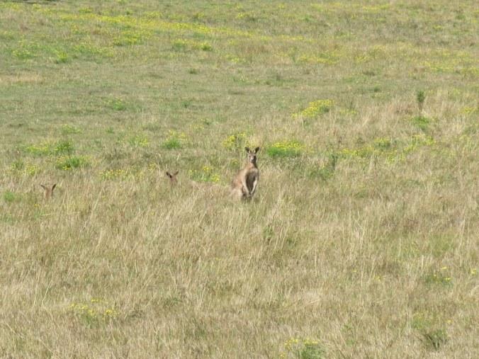Kangaroos 1